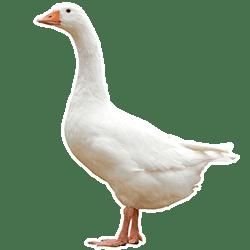 producteur-volailles-ferme-du-val-de-noye-oie-blanche