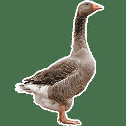 producteur-volailles-ferme-du-val-de-noye-oie-grise
