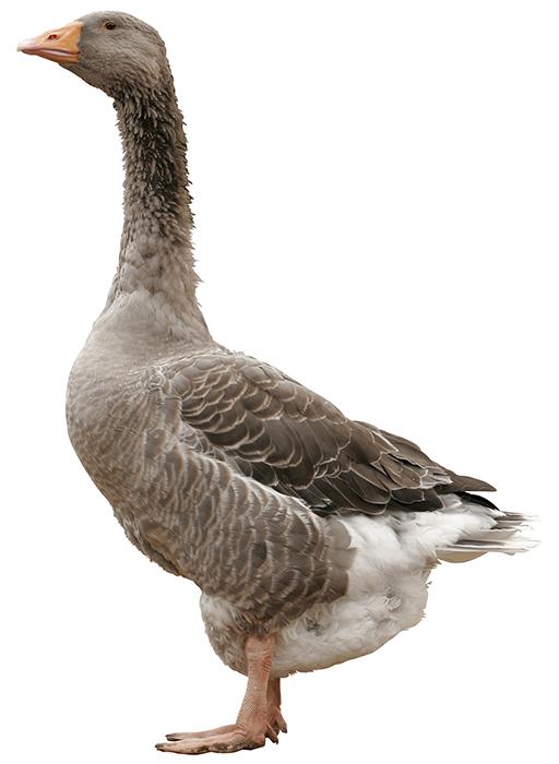 producteur-volailles-ferme-du-val-de-noye-les-oies-grises